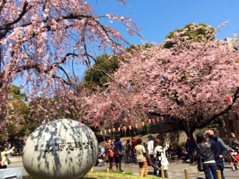 上野公園 桜満開