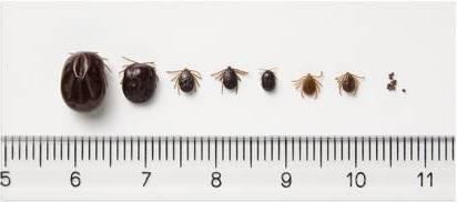 マダニは体長1ミリ程ですが、吸血すると1センチ位に膨れ上がります