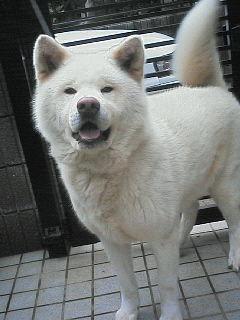 秋田犬のレオ君・撮影当時2歳頃・事務局スタッフ愛犬♪