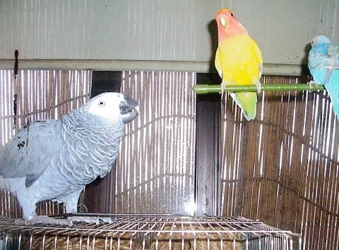 インコ&文鳥